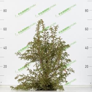 Juniperus Communis (ginepro)