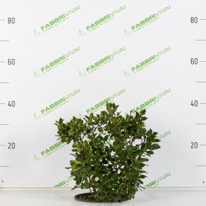 Agrifoglio - Ilex aquifolium