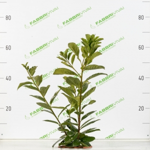 Lauroceraso - Prunus laurocerasus