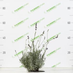 Lavanda - Lavandula angustifolia