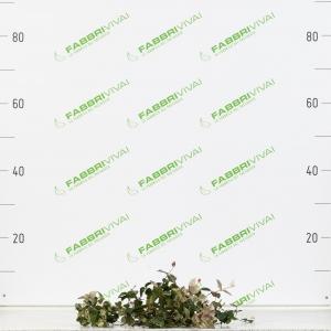 Rhyncospermum Asiaticum
