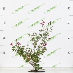 Salvia da Fiore